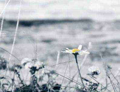 Nærbilde av en prestekrage fra siden/i profil i en blomstereng. Bakgrunnen er uskarp og i blågrå toner. Prestekragen er hvit og har en sterk okergul farge i